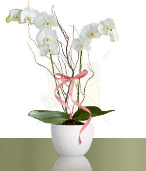 01-phalaenopsis