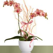 02-phalaenopsis