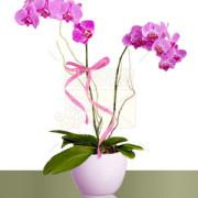 03-phalaenopsis