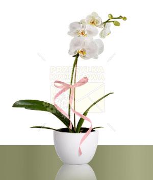 04-phalaenopsis