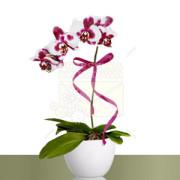 05-phalaenopsis