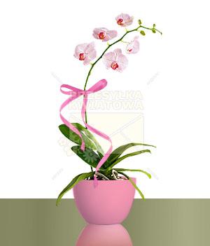 06-phalaenopsis