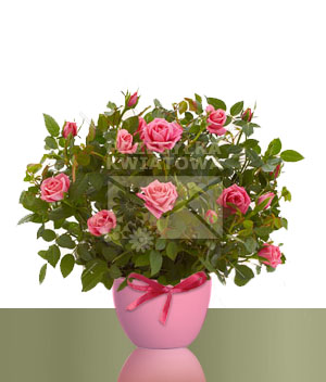 07-roza-miniatura